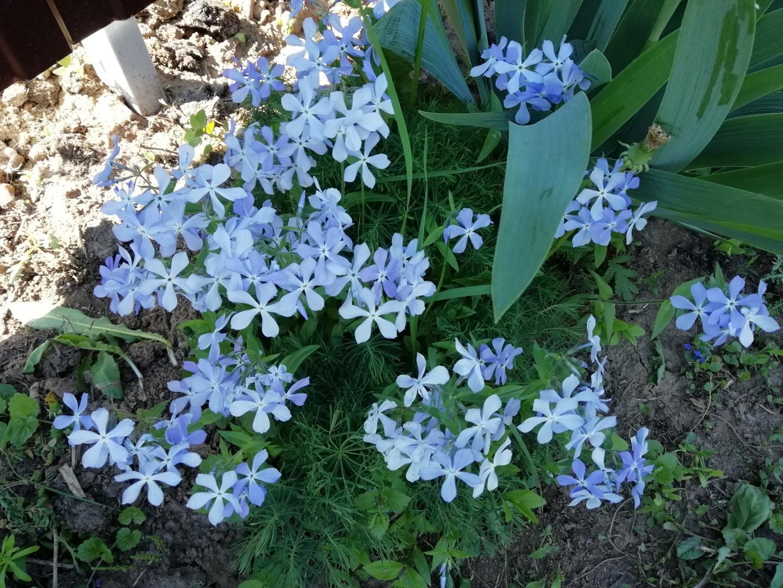 голубые цветы.