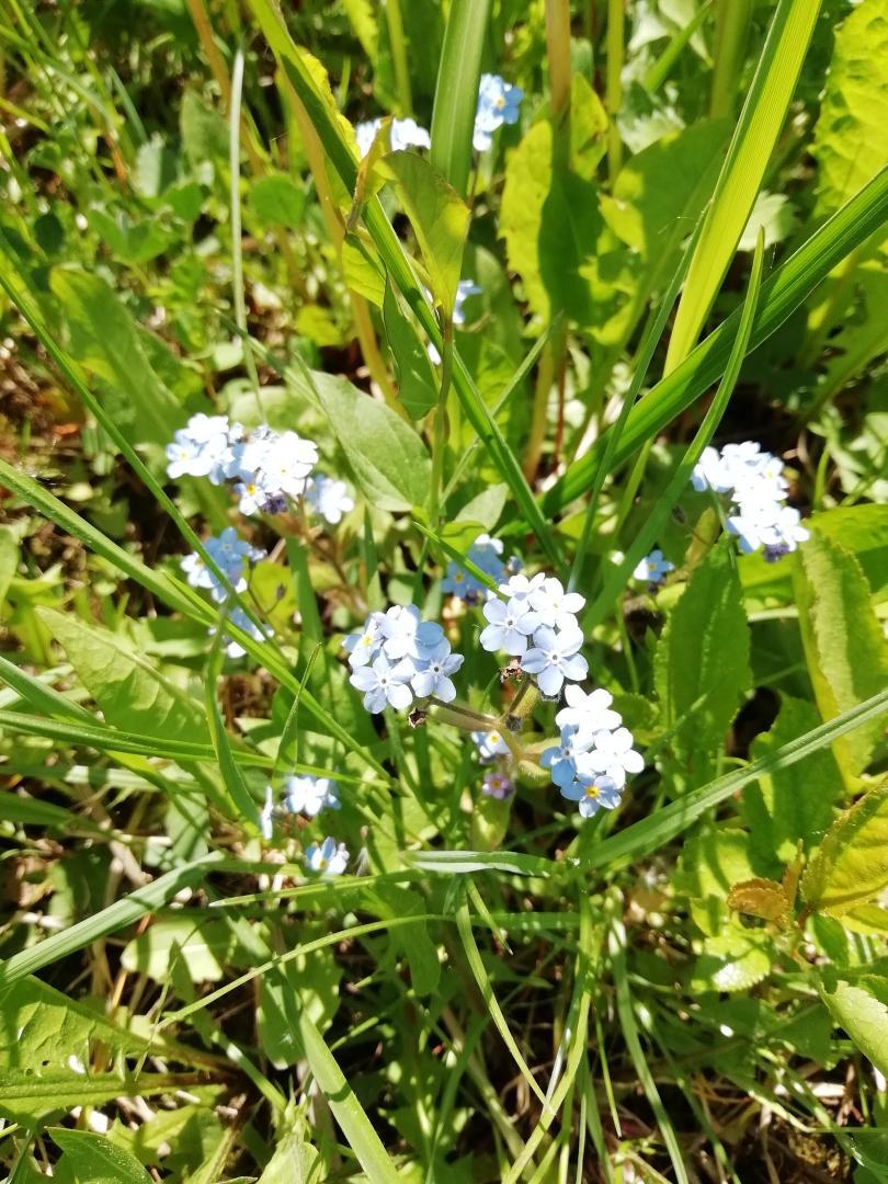 голуб.цветы