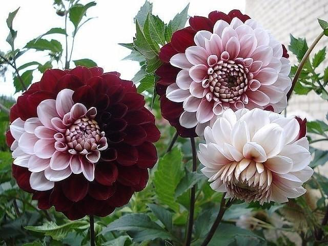 вот это окрас роз.цвет