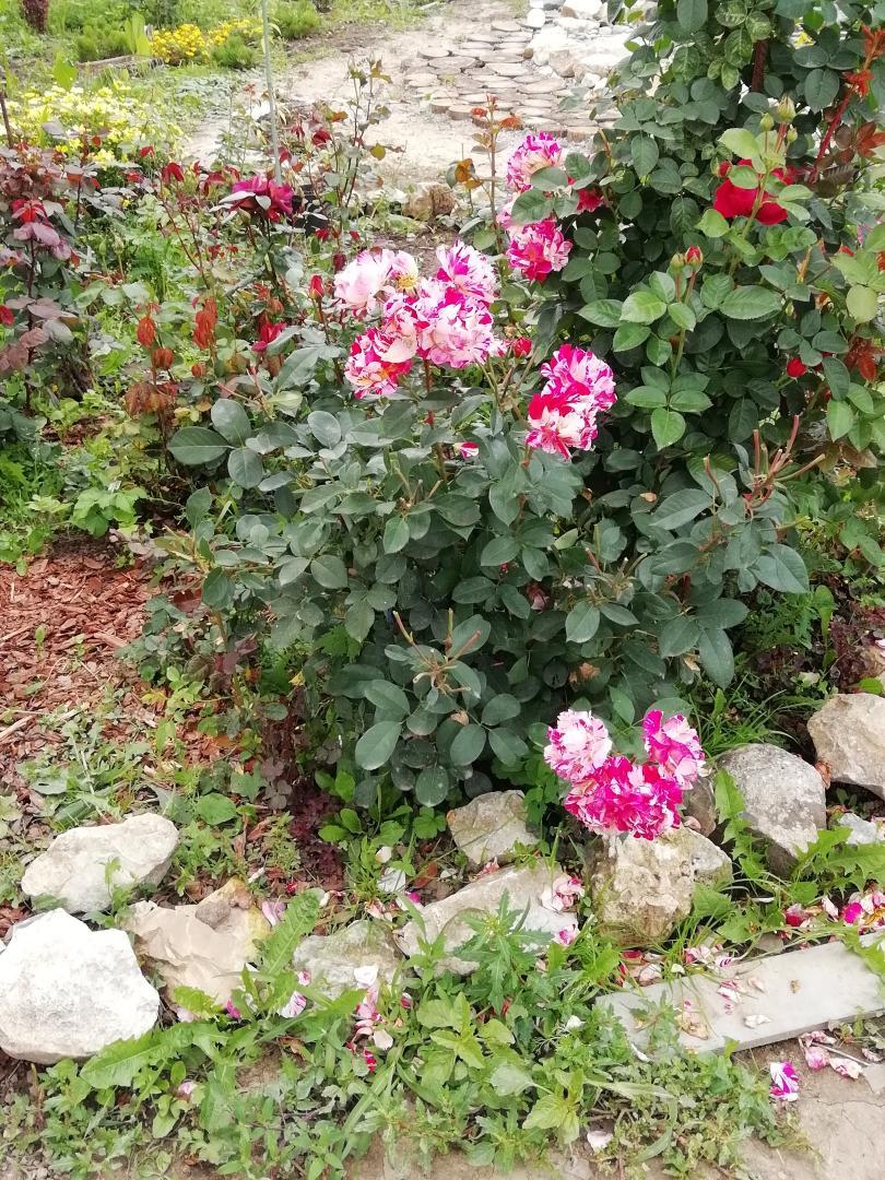 роз.розы
