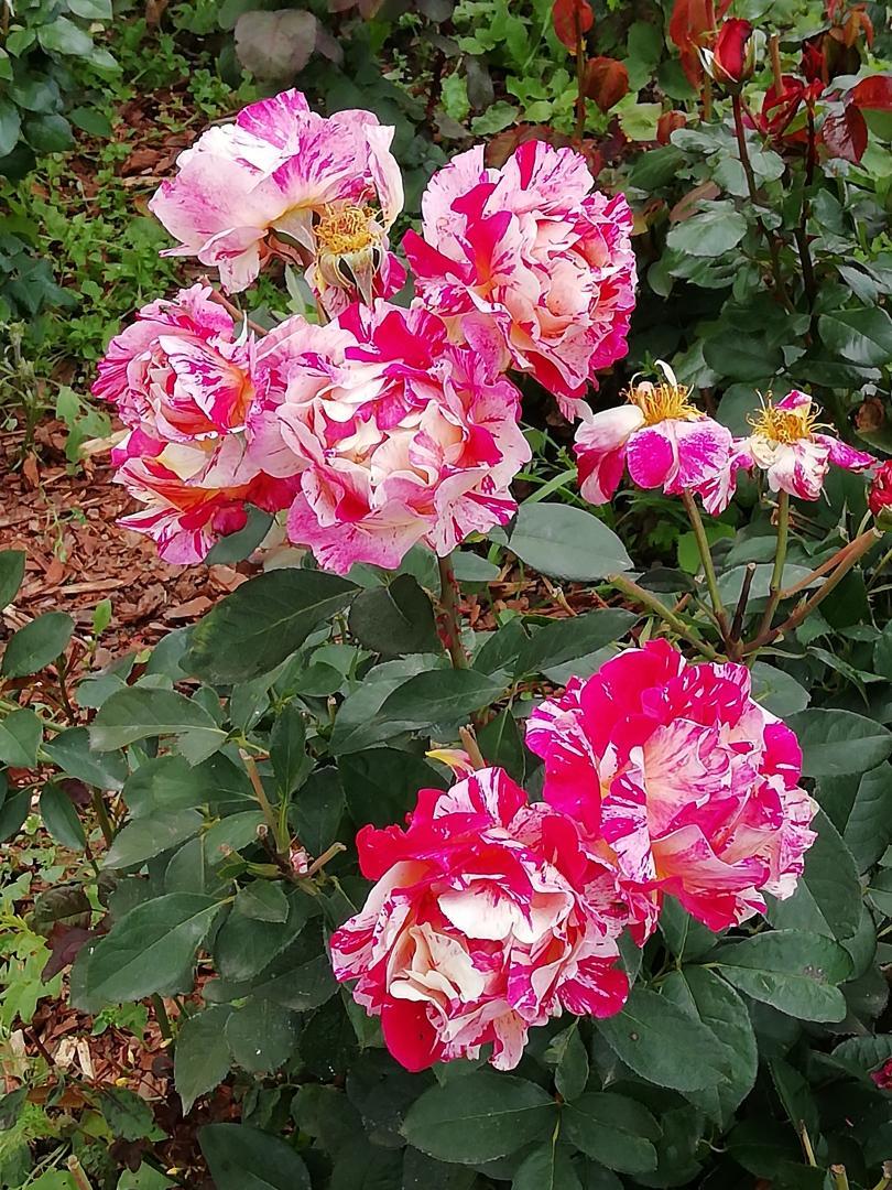 роз.розы1