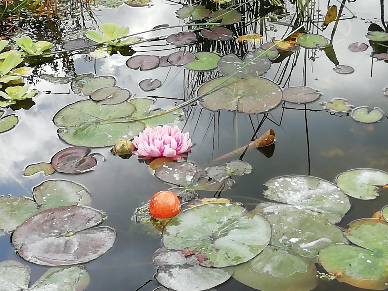 роз.лилия1
