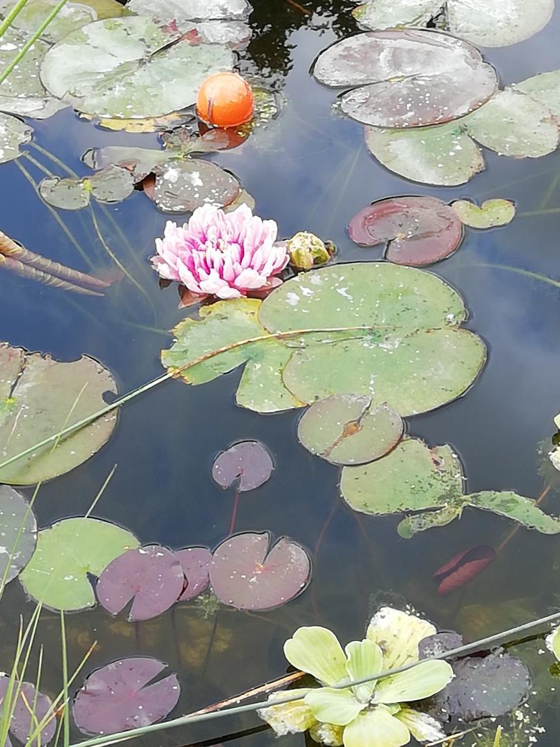 роз.лилия